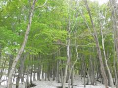 木漏れ日が差し込みブナ林