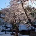 雪の中の桜