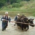 牛と田かき